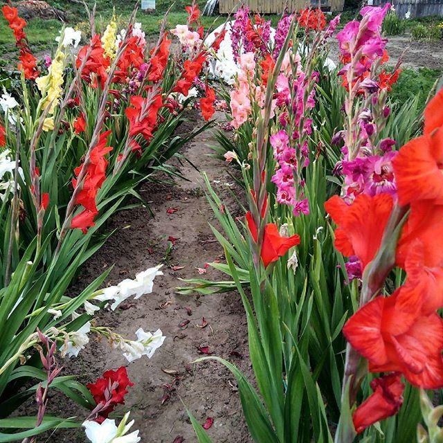 Когда сажают гладиолусы и лилии 257