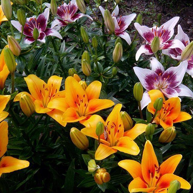 Лилии цветов уход