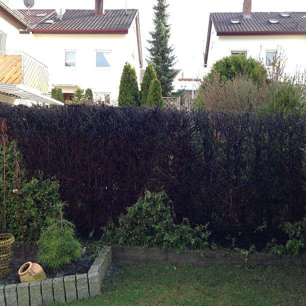 Быстрорастущая живая изгородь на даче своими руками какие растения фото 81